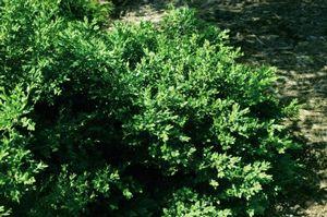 Boxwood Green Velvet 3c